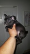 French Bulldog Puppy For Sale in NEW LISBON, NJ, USA
