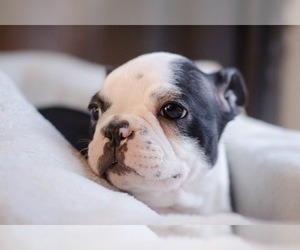 Boston Terrier Puppy for Sale in SPRINGFIELD, Ohio USA