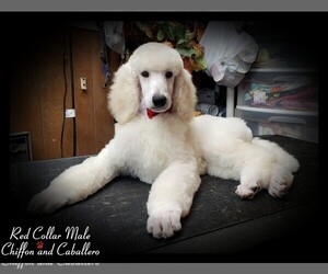 Poodle (Standard) Puppy for Sale in MANCHESTER, Michigan USA