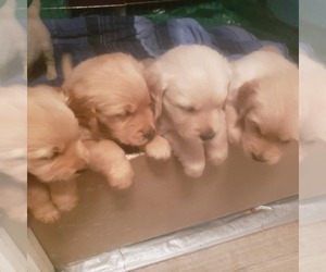 Golden Retriever Puppy for sale in TOPEKA, KS, USA