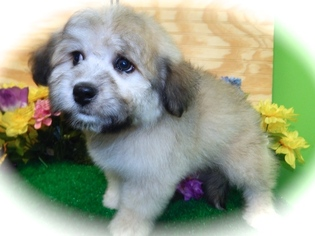 Bichon-A-Ranian Puppy For Sale in HAMMOND, IN