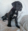 Great Dane Puppy For Sale in AMMON, ID, USA