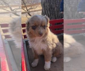 Australian Shepherd Puppy for sale in SAINT PAUL, MN, USA