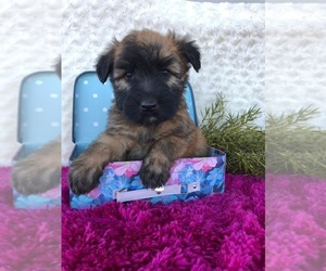 Soft Coated Wheaten Terrier Puppy for Sale in BROOK PARK, Pennsylvania USA