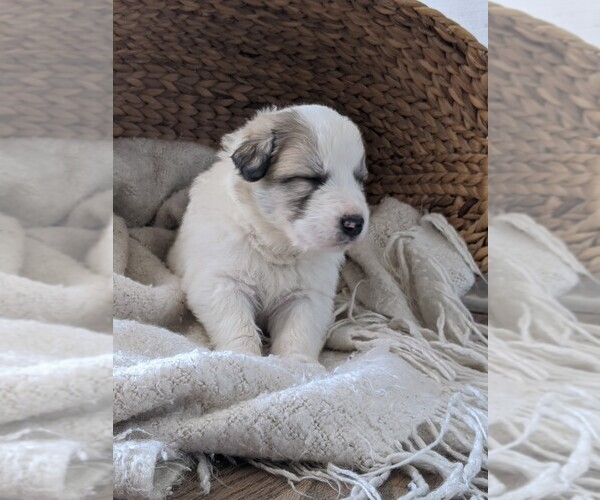 Medium Photo #54 Great Pyrenees Puppy For Sale in FALCON, CO, USA