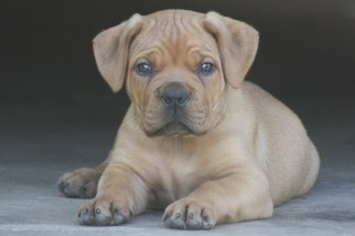 Boerboel Puppy For Sale in ATL, GA