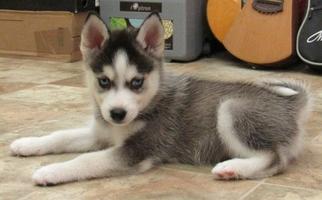 Alaskan Klee Kai Puppy For Sale in SEBRING, FL, USA