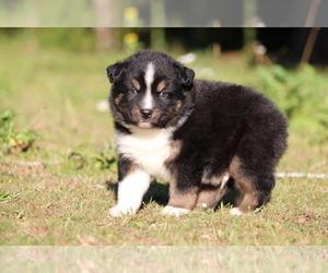 Miniature Australian Shepherd Puppy for sale in CHEHALIS, WA, USA