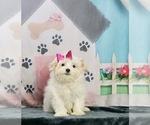 Puppy 7 Zuchon