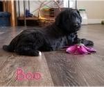 Puppy 2 Bordoodle