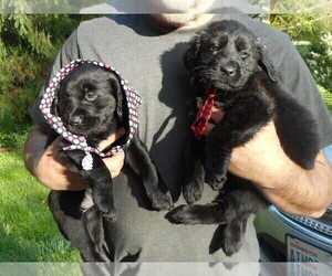 Labrador Retriever Puppy for Sale in WOODLAND, Washington USA