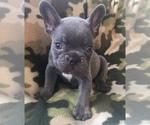 Small #31 French Bulldog
