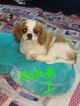 Cavalier King Charles Spaniel Puppy For Sale in NACOGDOCHES, TX, USA
