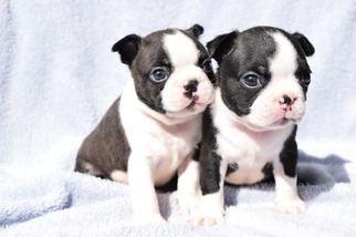Boston terrier for sale washington state