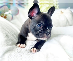 French Bulldog Puppy for Sale in CORONA, California USA