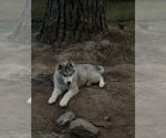 Small Photo #3 Wolf Hybrid Puppy For Sale in FILLMORE, LA, USA