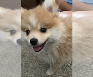 Pomeranian Puppy for Sale in SUNNYVALE, California USA