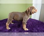Puppy 3 Olde English Bulldogge
