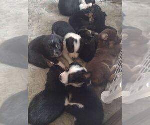 Australian Shepherd Puppy for sale in CHATFIELD, MN, USA