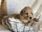 Goldendoodle Puppy For Sale in HESPERIA, CA, USA
