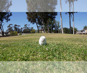 Pomeranian Puppy for Sale in FULLERTON, California USA