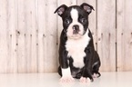 Boston Terrier Puppy For Sale in MOUNT VERNON, OH,