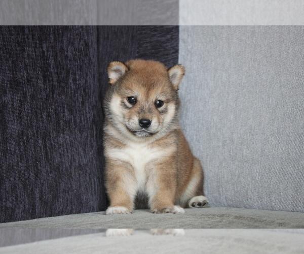 Medium Photo #4 Shiba Inu Puppy For Sale in MIAMI, FL, USA