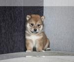 Small Photo #4 Shiba Inu Puppy For Sale in MIAMI, FL, USA