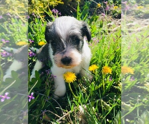 Schnauzer (Miniature) Puppy for sale in FORT COLLINS, CO, USA
