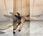 Belgian Malinois puppies best bloodline AKC