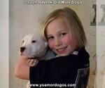 Puppy 2 Dogo Argentino