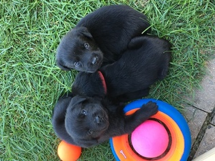 Labrador Retriever Puppy For Sale in FORT RECOVERY, OH, USA