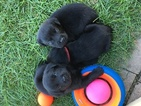Labrador Retriever Puppy For Sale in FORT RECOVERY, OH,