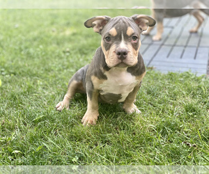 American Bully Puppy for Sale in OVERLAND, Kansas USA