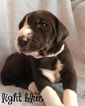 Great Dane Puppy For Sale in CHULA VISTA, CA