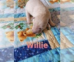 Puppy 3 Labradoodle-Poodle (Standard) Mix