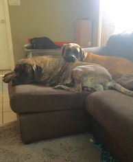 Mother of the Mastiff puppies born on 09/10/2016