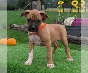 Boxer Puppy for sale in ARTHUR, IL, USA