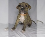 Puppy 10 American Pit Bull Terrier-American Staffordshire Terrier Mix