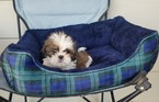 Shih Tzu Puppy For Sale in LOS ANGELES, CA, USA