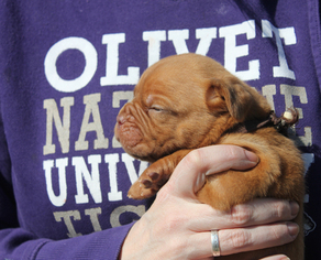 Dogue de Bordeaux Puppy For Sale in VICKSBURG, MI
