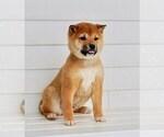 Puppy 1 Aussiedoodle-Goldendoodle Mix