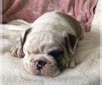 Small #5 English Bulldog