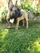French Bulldog Puppy For Sale in BATTLE GROUND, WA, USA
