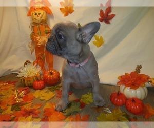 French Bulldog Puppy for Sale in PAWTUCKET, Rhode Island USA