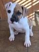 American Bulldog Puppy For Sale in EVERTON, MO, USA