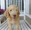 Goldendoodle Puppy For Sale in COMER, GA, USA