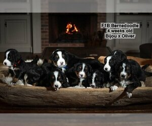 Bernedoodle Puppy For Sale in HOPKINSVILLE, KY, USA