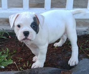 View Ad: American Bulldog Litter of Puppies for Sale near Georgia