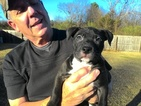 Bull Terrier Puppy For Sale in CONWAY, AR,